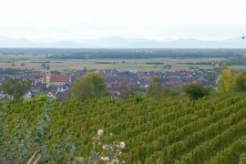 Vinyards in Ringsheim / Ortenau